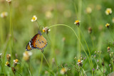 butterfly on flower (Common tiger butterfly)