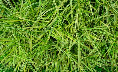 Pandan leaves texture background (Pandanus pygmaeus or Variegata)