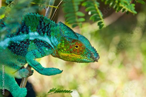Aluminium Kameleon Panther Chameleon, Madagascar
