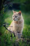 Red cat standing in grass. Cute cat in garden.