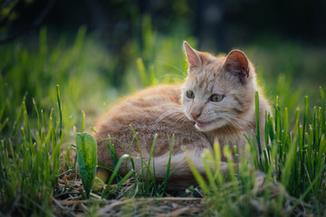 Cute cat playing in garden. Playful red cat outdoor.