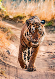 Head-on portrait of a bengal tiger from Ranthambhore