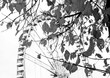 Autumn in Paris. Branches with faded leaves and ferris wheel silhouette at background. Selective focus on the leaves. Aged photo. Black and white.