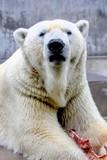 Eisbär - Ursus maritimus