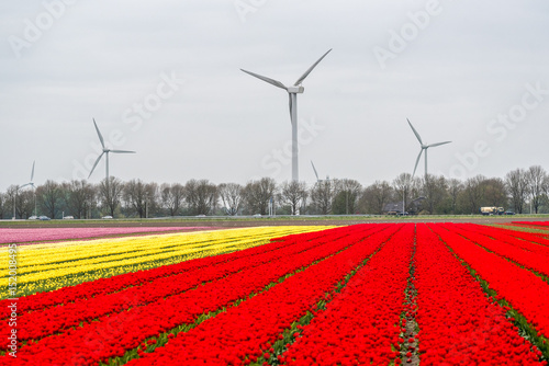 Windmills on the tulip field