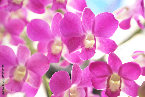 Close up of beautiful pink Thai orchid flower branch blooming in a garden  - 152033251