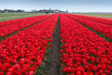 Beautiful red tulip fields in the North Netherlands in spring, Holland