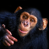 Chimpanzee - 152085047