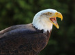 Close up of a Bald Eagle calling