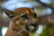 Puma Big Cat Costa Rica