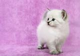Siberian colorpoint kitten