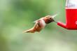 flying rufous hummingbird