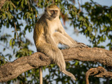 Vervet Monkey sitting relaxed in a tree on a sunny day, Chobe NP, Botswana, Africa