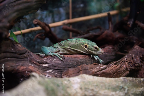 Green lizard laying on the tree trunk. Poster