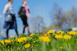 Blurred womens walking in park, spring season, green grass meadow, bright yellow young dandelions, copy space. Abstract background, people activities, lifestyle