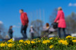 Blurred background of Young family with kids, pram in park, spring season, green grass meadow. In the foreground, bright yellow young dandelions