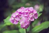 Pink Hydrangea flower in Japan