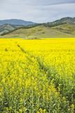 Flowering rapeseed field. Yellow flowers. Altai