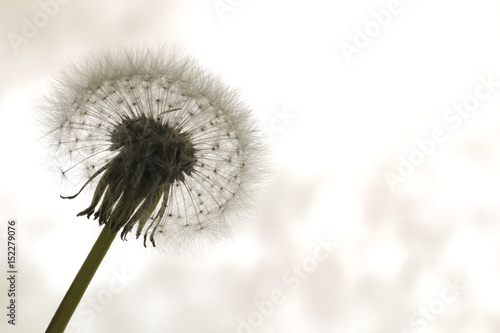 dandelion seeds on sunlight - 152279076