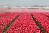 Bewässerung Tulpenfeld