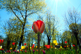 colorful tulips on blue sky background with sun rays