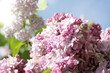 bloom in the spring garden/ Gently pink and airy flower in a bouquet of lilac