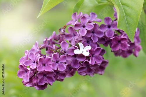 wonders spring garden/ Small white flower in a bouquet of violet lilac