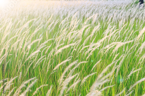 Fototapeta flower grass field under the beautiful sky background
