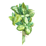 Botanical drawing of a basil leaver. Watercolor beautiful illustration of culinary herbs used for cooking and garnish. Isolated on white background. - 152347821