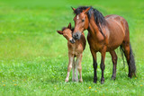 Mare with colt on spring green field - 152371258