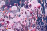 Dandelion flowers in summer. Floral background.