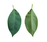 Green Plumeria leaves of tropical trees in Thailand.