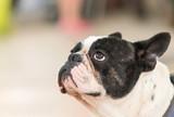 Black french bulldog