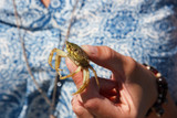 Lady holding a young crab she just picked up from the bottom of the Wadden sea.