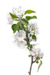 Apple blossoms. Blooming apple tree branch with large white flowers isolated on white background. Flowering.