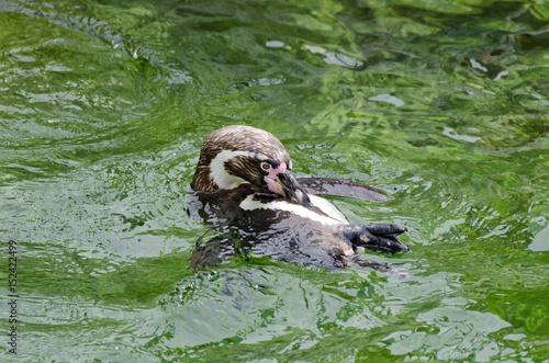 Plakát Humboldt penguin swimming on back