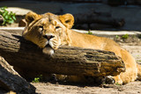 Asian lions are resting.