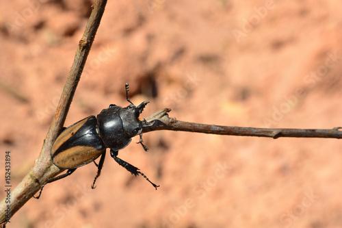 Rhinoceros beetle, Rhino beetle, Hercules beetle, Unicorn beetle, Horn beetle Poster