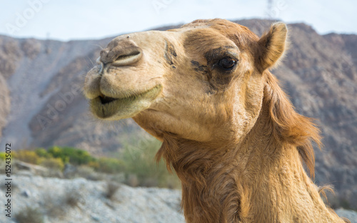 """Fotobehang Kameel Omani Camels - The camel, also called the """"Ship of the Desert"""" is a vital part of the Omani Society, for it represents a deeply appreciated and highly valued tradition. Camels were not only the main m"""