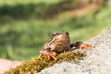 The frog sits on a rock covered with moss