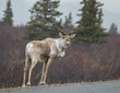 Young Bull Caribou