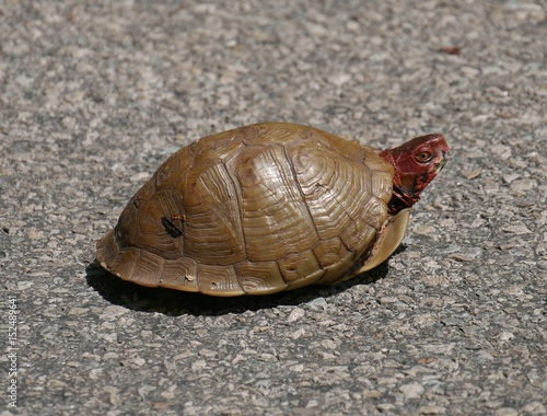 brown turtle crossing the street, top view A brown turtle with red head crossing the street