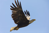 Bald eagle flying after catching a mouse, seen in the wild in  North California
