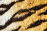 closeup of tiger fur with beautiful stripes