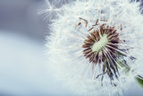 Dandelion. Dandelion fluff. Dandelion tranquil abstract closeup art background.