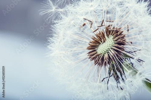 Dandelion. Dandelion fluff. Dandelion tranquil abstract closeup art background.