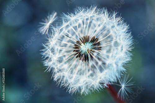 Zdjęcia na płótnie, fototapety na wymiar, obrazy na ścianę : Dandelion. Dandelion fluff. Dandelion tranquil abstract closeup art background.