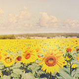 Field of colorful fresh growing sunflowers at bright summer day, retro toned