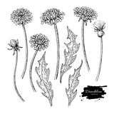 Dandelion flower vector drawing set. Isolated wild plant and leaves. Herbal engraved