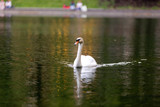 A beautiful Swan floats on the pond